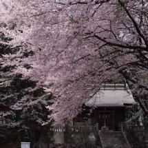 2016/04/09 sakura