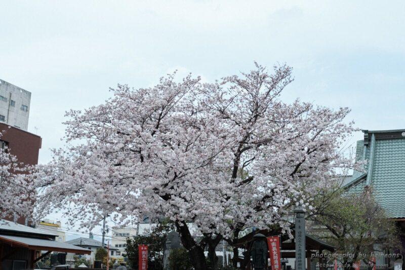 玉田寺のさくら